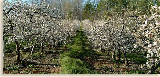 Mountain Apple Orchard