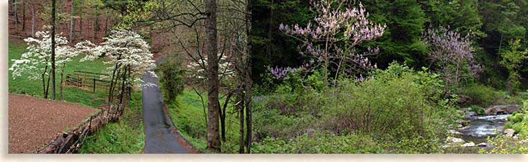 Dogwoods and Wisteria in the Blue Ridge Smoky Mountains