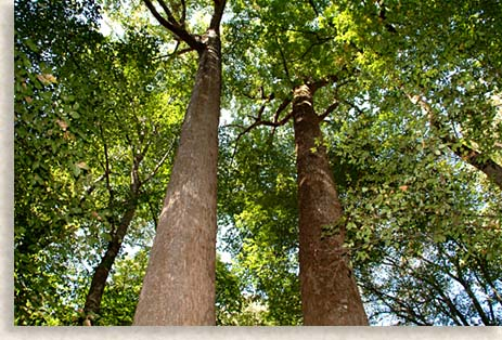 Cathedral Trees in Joyce Kilmer Memorial Forest