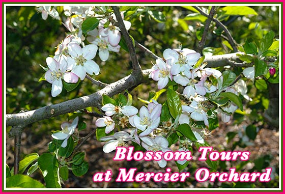 Merciers Apple Blossom Tours