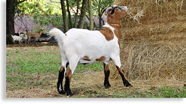 Reece' Apple House's Goat