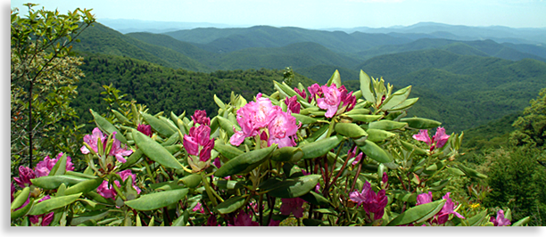 Blue Ridge Parkway and Rhododendrons