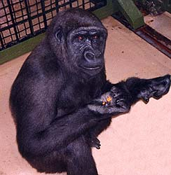 Gorilla and peanuts