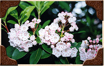 White Mountain Laurel